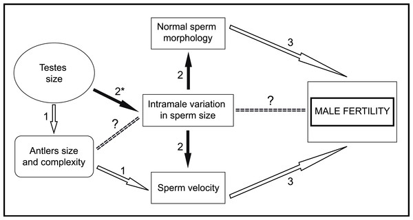 General scheme of male traits related to sperm competitiveness and fertility in red deer.