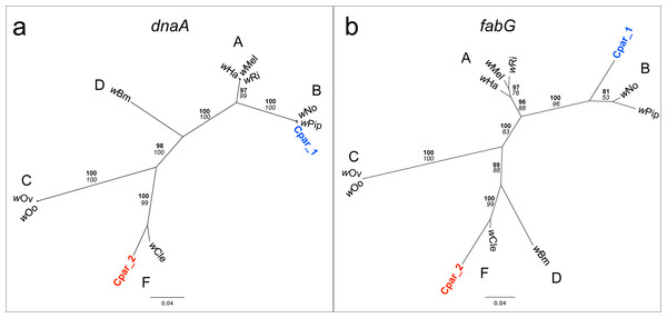 Phylogenies of Wolbachia dnaA and fabG genes with C. parallelus genomic inserts.