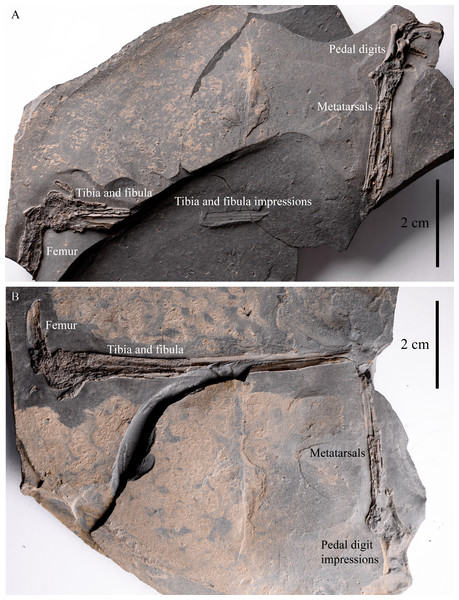 IVPP V22530 includes an incomplete, partially-articulated left dromaeosaurid leg.