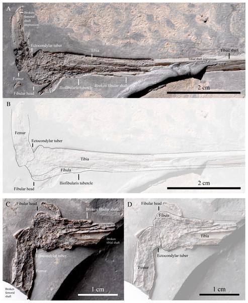 Femur, tibia and fibula of IVPP V22530.