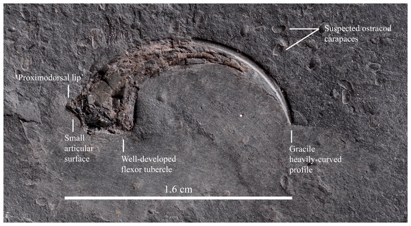 An isolated theropod manual ungual is associated with the incomplete partially-articulated left dromaeosaurid leg.