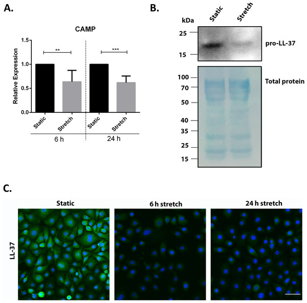 Cyclic mechanical stretch down-regulates cathelicidin antimicrobial peptide expression.