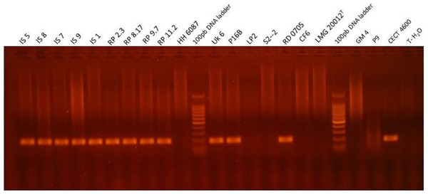 Visualization of the PCR product in agarose gel obtained with qPCR virB4 assay for representative strains of Vibrio, i.e., which were tested positive and negative for BRD development after an infection experiment.