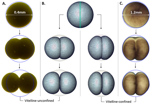 Microscopic images vs. Finite Element simulation of the first embryonic cell division.