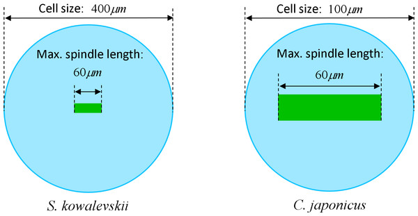 Visualization of the relative geometrical proportion of the maximum spindle length (60 μm) to the size of Sk (400 μm) and Cj (100 μm) cells.