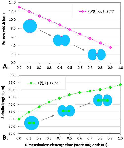 Plots of furrow width (A) and spindle length (B) as a function of dimensionless cleavage time.
