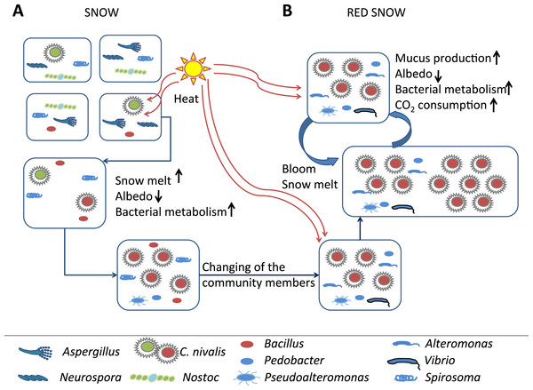 Model of red snow microbiology.