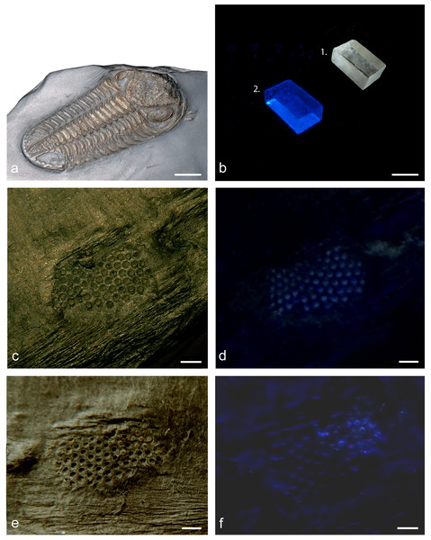 The glow in the calcitic lenses of a phacopid trilobite's eye.
