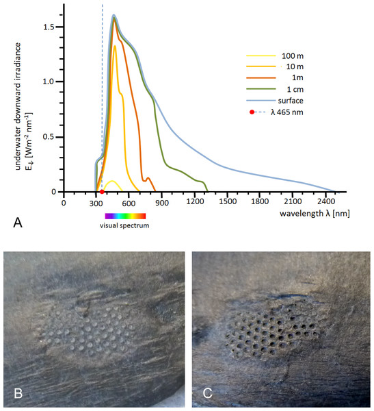 Underwater downward irradiance and fluorescence of trilobite lenses under UV-A light and day-light conditions.