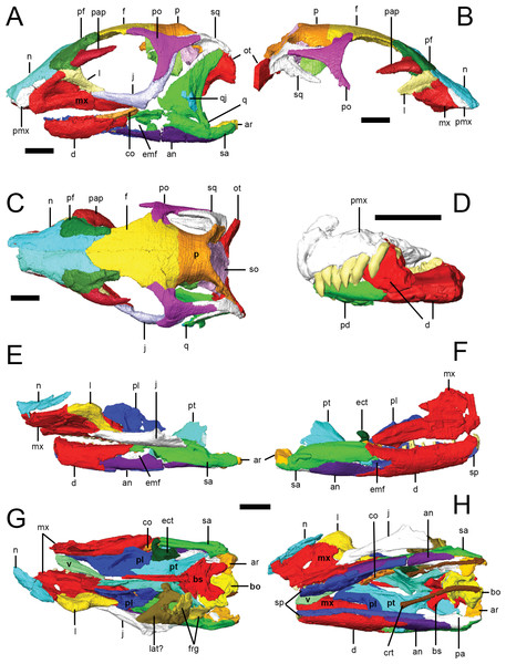Surface models of Lesothosaurus diagnosticus specimens used in this study.