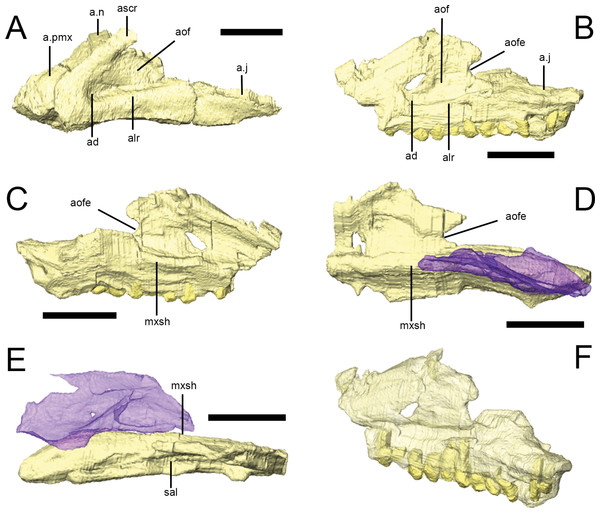 The maxilla of Lesothosaurus diagnosticus.