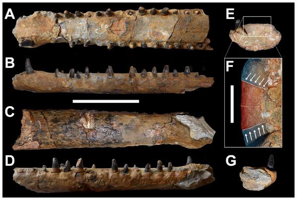 DORCM G.3939, 'Steneosaurus' cf. obtusidens.