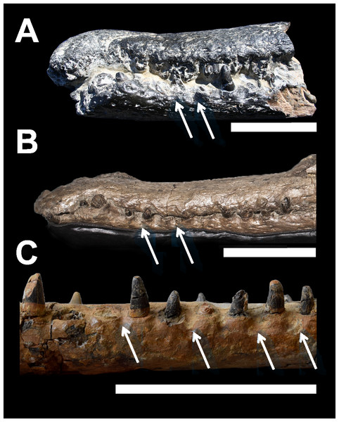 Comparative plate of macrophagous teleosaurid dentary pit-receptions.