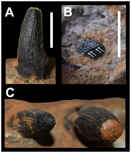 Dentition of DORCM G.3939, 'Steneosaurus' cf. obtusidens.