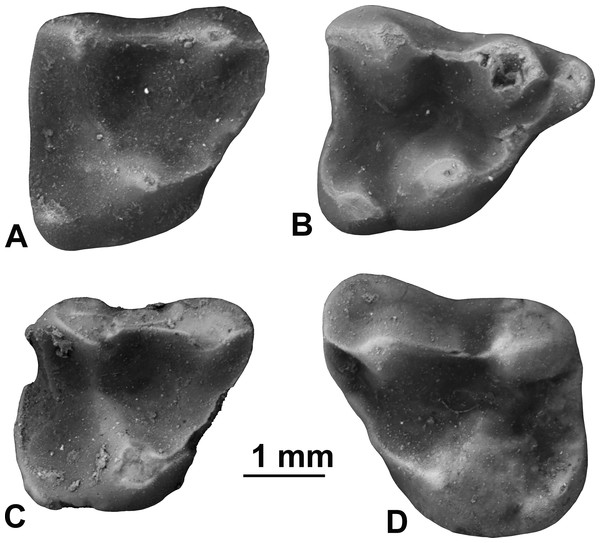 Upper molars of Sinclairella simplicidens n. sp.