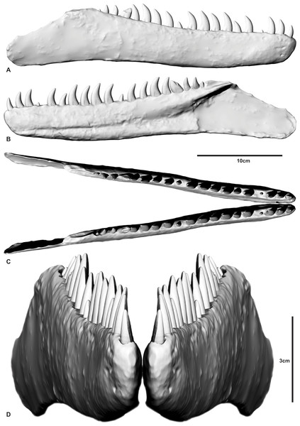 Reconstructed dentary of Australovenator wintonensis by Travis R. Tischler.