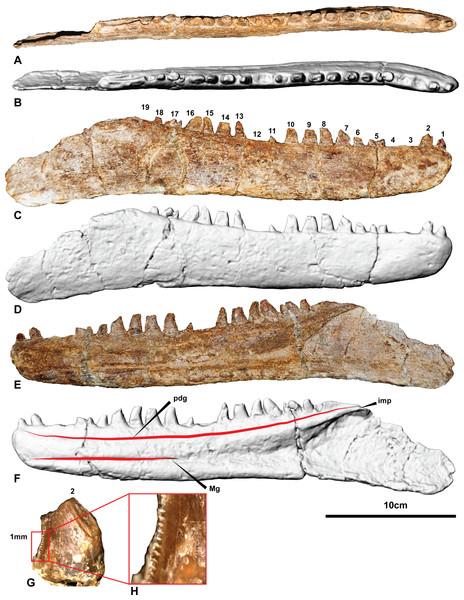 The holotype right dentary of Australovenator wintonensis AODF604.