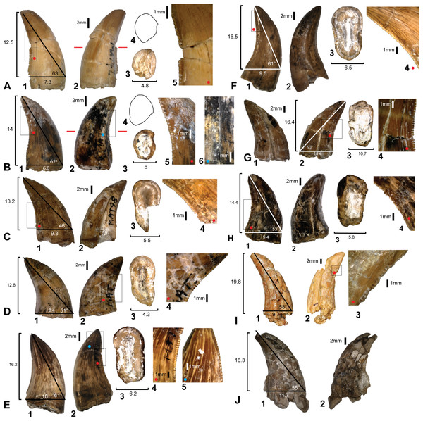 Theropod teeth discovered from Matilda Site (AODL85).