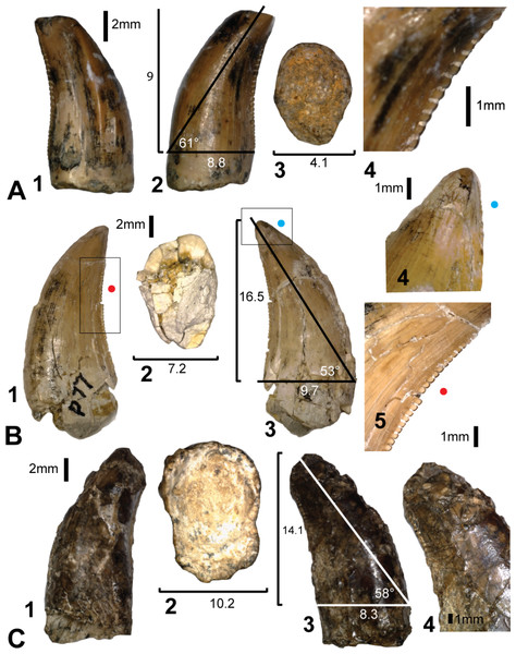 Teeth from Pegler's Site (AODL124), Pete Site (AODL125) and Wade Site (AODL82).