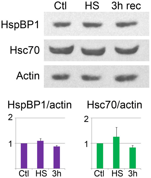 Western blot analysis of hsc70 and HspBP1.
