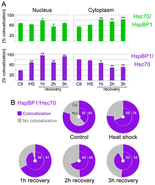 Colocalization of HspBP1 and hsc70 in the nucleus and cytoplasm.