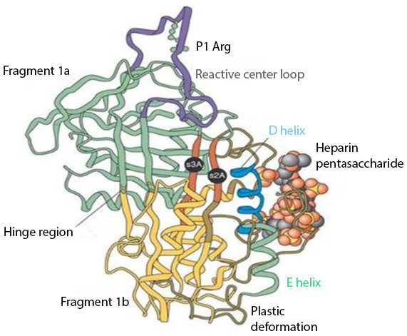 Anti-thrombin III after conformational change induced by heparin binding.