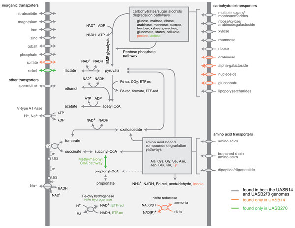 Composite metabolic overview of the Modulibacteria (KSB3) genomes based on identified genes and pathways.