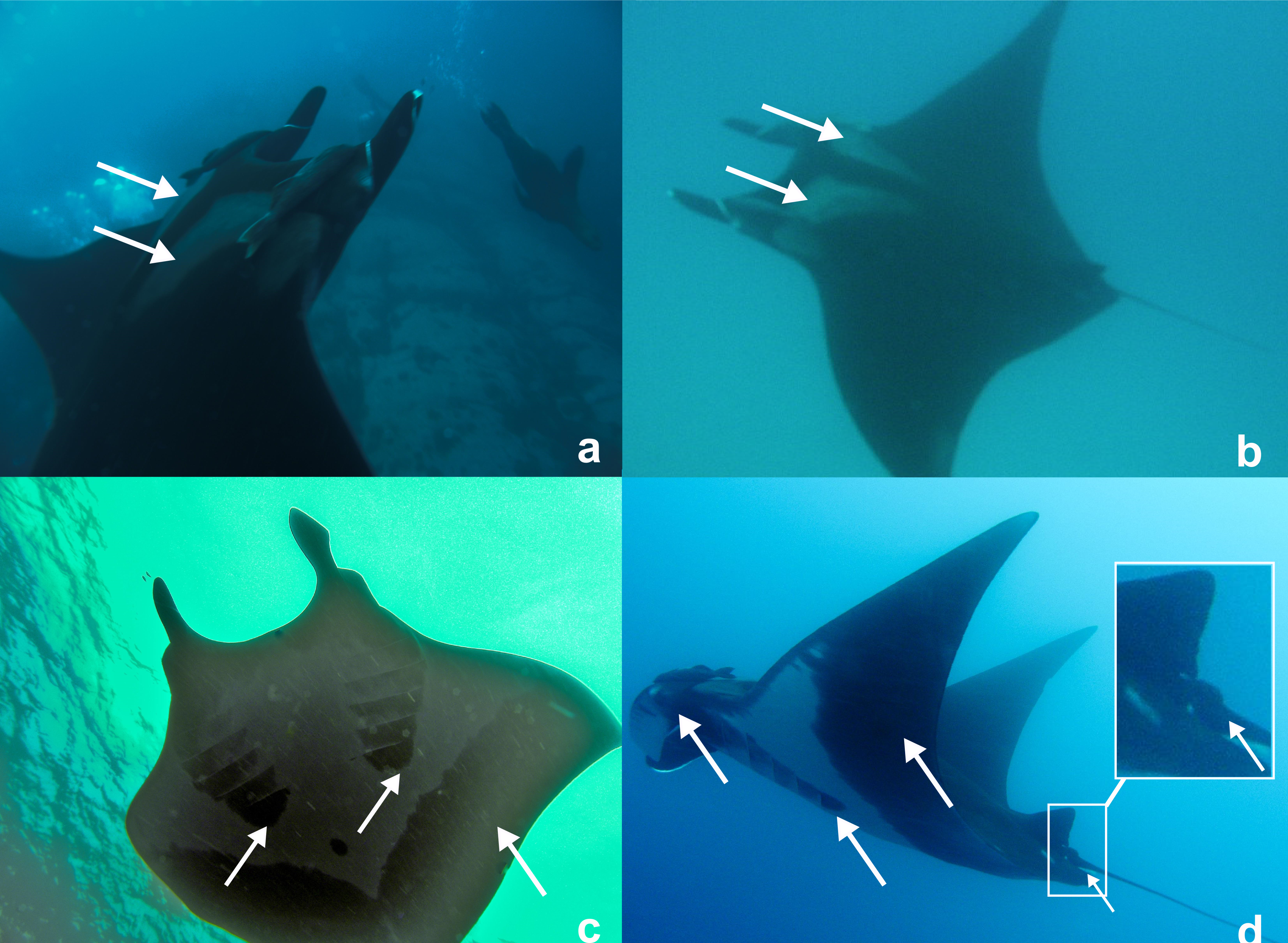 Manta ray swimming underwater with its dorsal fins spread open viewed - Download Full Size Image