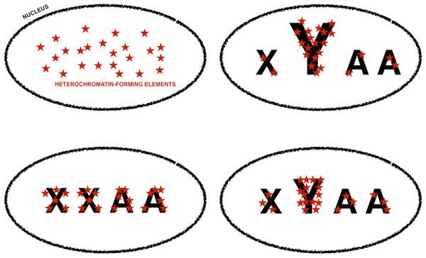 Genomic tuning knob-sink effect of Y chromosomes.