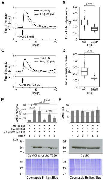 I-Hg reduces Ca2+-signalling in SH-SY5Y neurons.