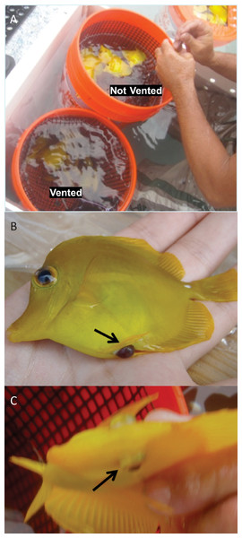 Barotrauma signs observed in Yellow Tang following collection.