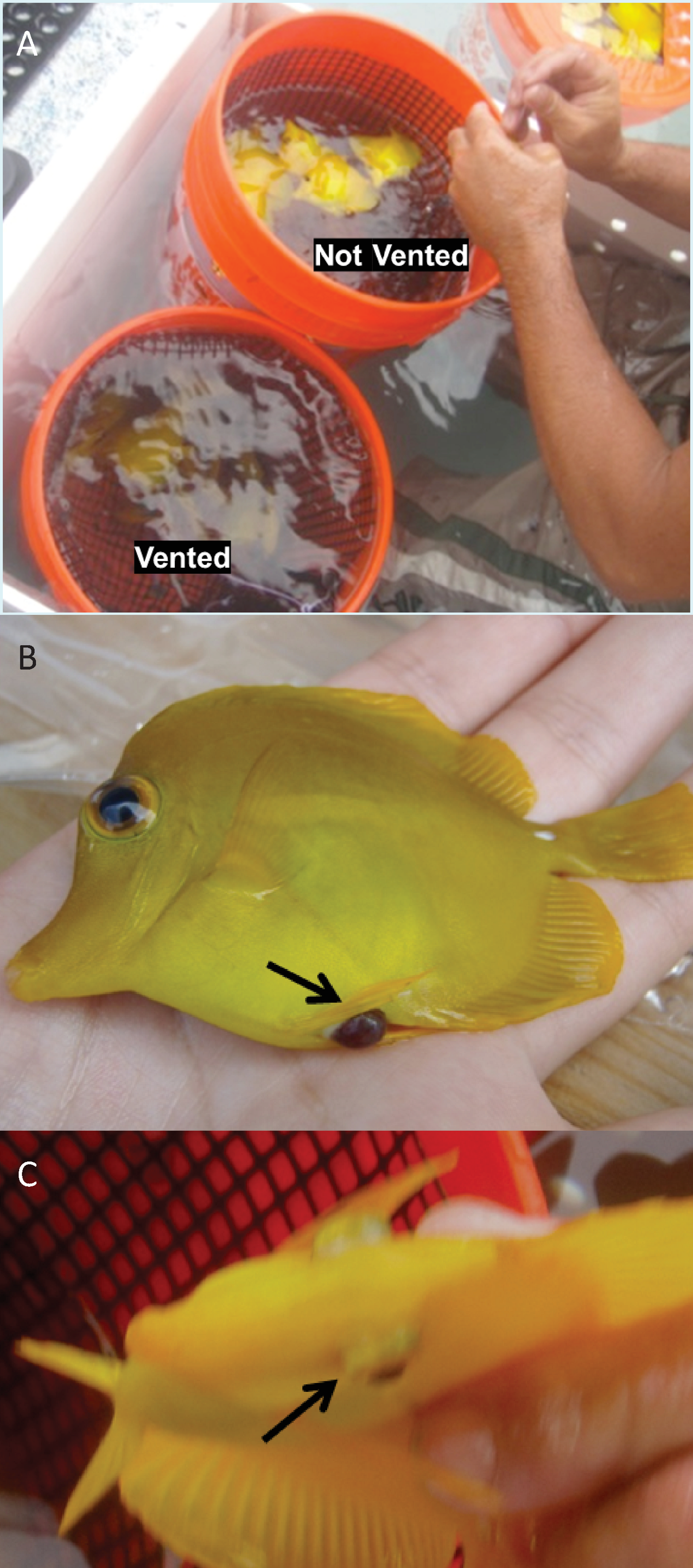 The effects of venting and de pression on Yellow Tang Zebrasoma