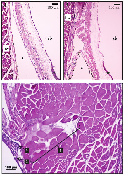 Histologic views of swim bladder tissues in vented Yellow Tang.