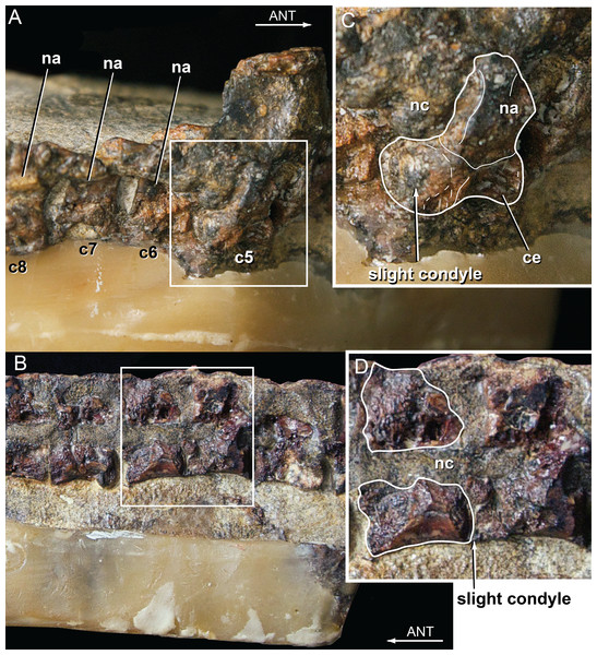 Vertebral anatomy of Isisfordia duncani.