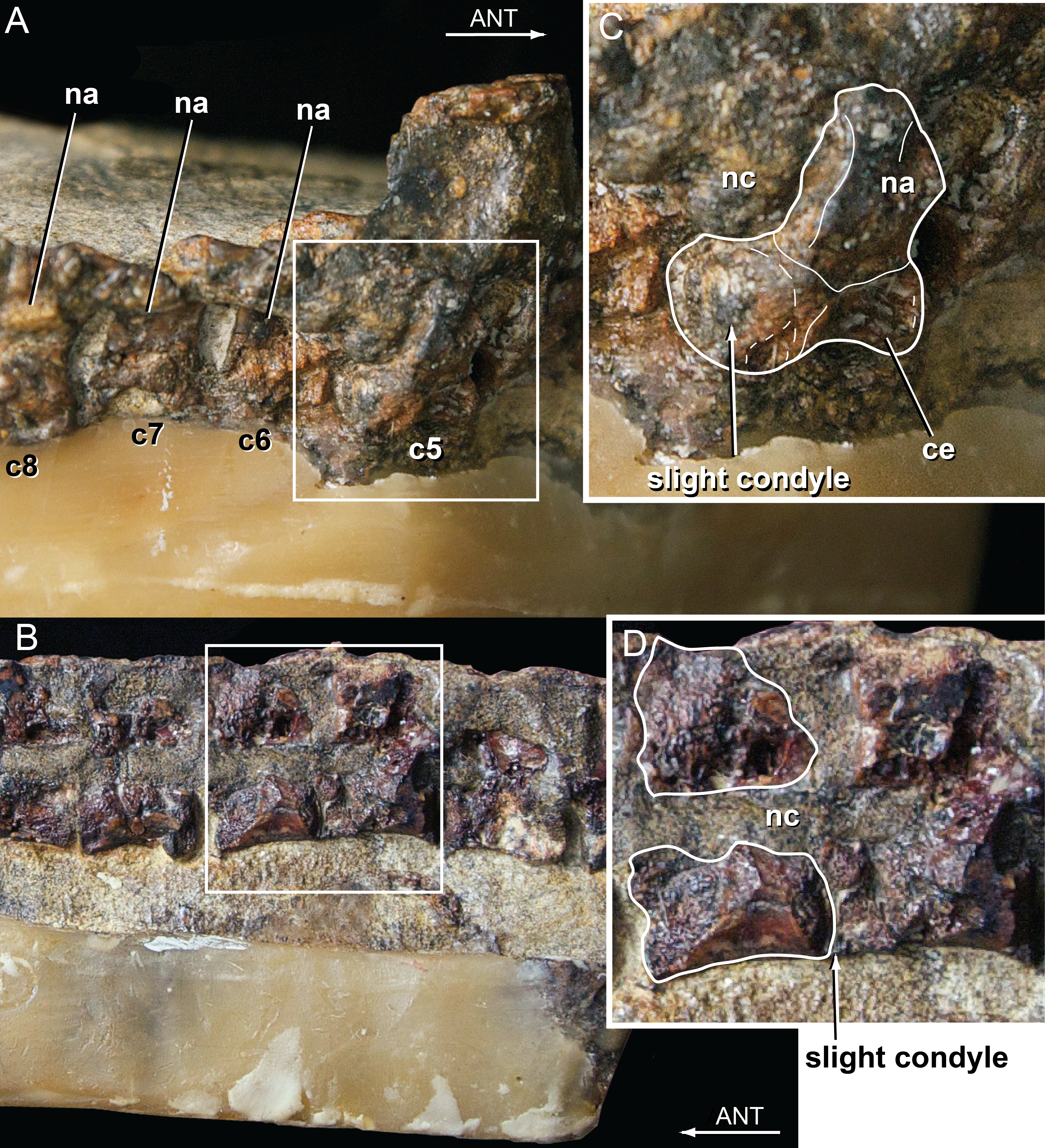 The Monophyly Of Susisuchidae Crocodyliformes And Its Phylogenetic