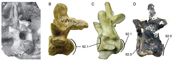 Posterior cervical vertebrae showing the character states for procoely and amphicoely used in the phylogenetic dataset.