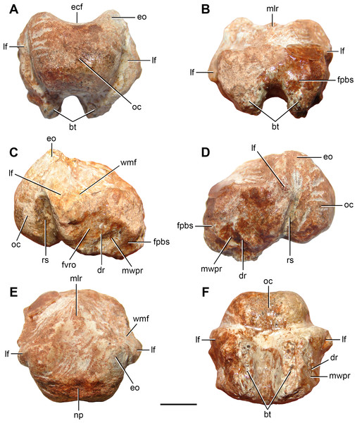 Partial braincase (FC-DPV 2641) from the Late Permian–Early Triassic Buena Vista Formation (Uruguay) in (A) posterior; (B) anterior; (C) right lateral; (D) left lateral; (E) dorsal; and (F) ventral views.