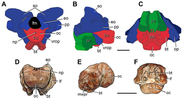 Anatomical comparison between (A–C) the pelycosaur Secodontosaurus obtusidens (modified from Reisz, Berman & Scott, 1992) and (D–F) FC-DPV 2641 in (A, D) posterior, (B, E) left lateral, and (C, F) ventral views. Supraoccipitals, opisthotics and exoccipitals are indicated in blue, basioccipital in red, and parasphenoid in green.