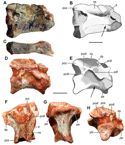 Photographs and interpretive drawings of (A–C) an anterior cervical vertebra (FC-DPV 2640) and (D–H) a middle-posterior cervical vertebra (FC-DPV 2637) from the Late Permian–Early Triassic Buena Vista Formation (Uruguay) in (A–B, D–E) right lateral, (C, G) ventral, (F) dorsal, and (H) posterior views.