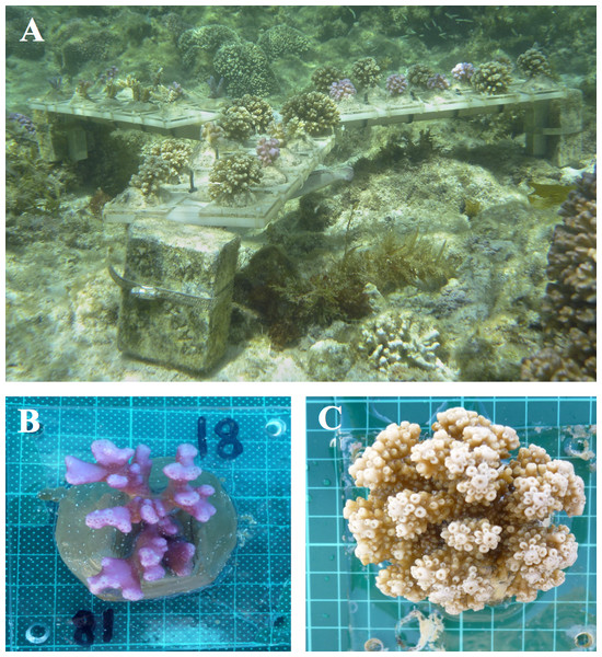 Sample coral colonies growing on tiles.