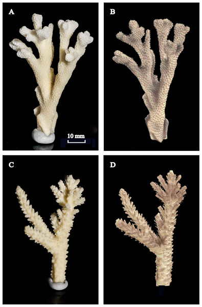 Photographed coral skeletons versus the 3D reconstructions using X-ray CT scans.