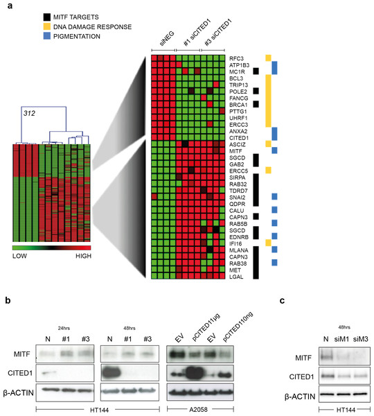 CITED1 regulates MITF and its targets genes.