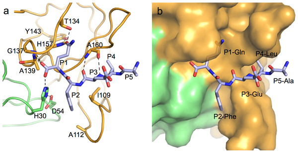Specific protease-product interactions observed in the original crystals of MNV NS6pro.