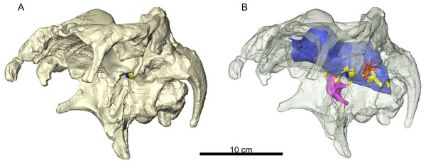 A 3D reconstruction of the braincase of Arenysaurus ardevoli.