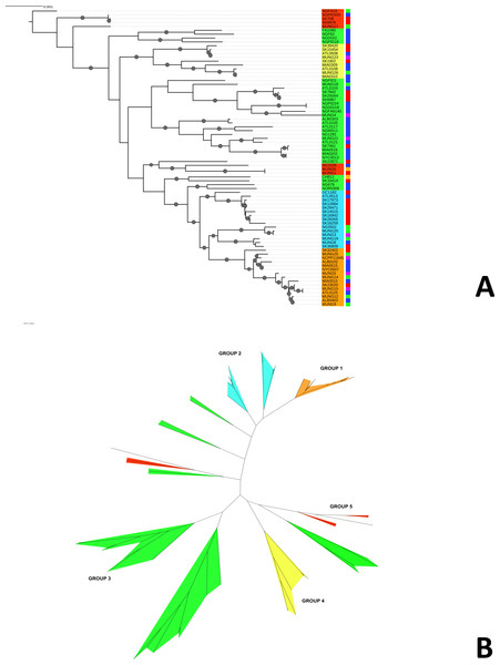 Phylogeny of N. gonorrhoeae strains in the sample set.
