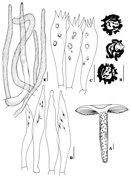 Hand drawing of macro- and microscopic characters of Russula seneceis.