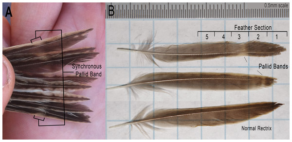 Photographs of Grasshopper Sparrow rectrices from the Grazinglands Research Laboratory.