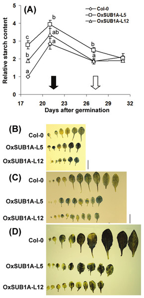 Developmental progression of starch accumulation of Arabidopsis plants expressing SUB1A-1.