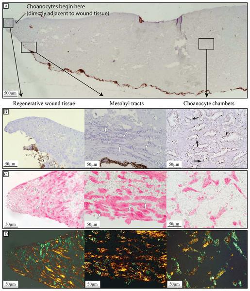 Regenerative tissue of H. caerulea.