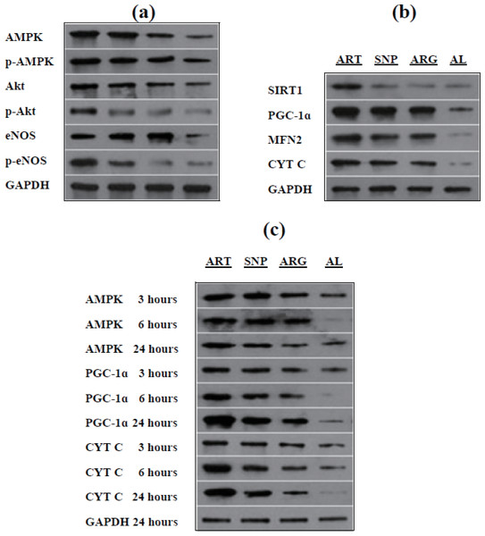 Western blotting of target proteins in mouse skeletal muscles injected by ART, SNP, or ARG.
